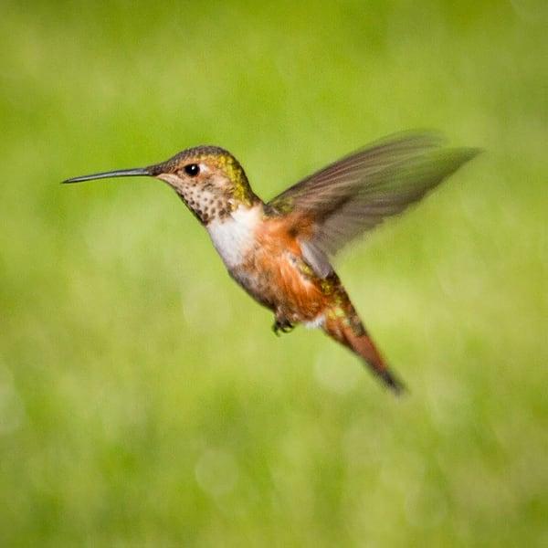Hummingbird Square Photography Art | Bird In Paradise