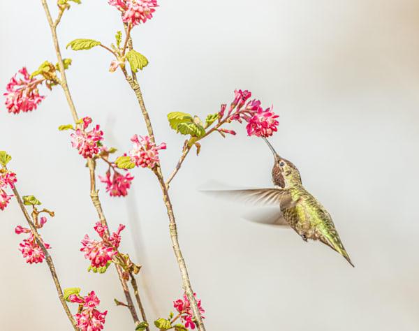 Anna S Hummingbird Art   lisaabbott