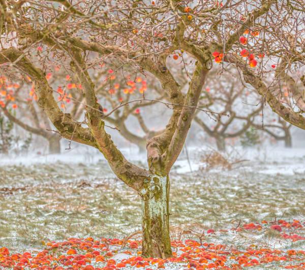 Apple Orchard In The Snow Art   lisaabbott