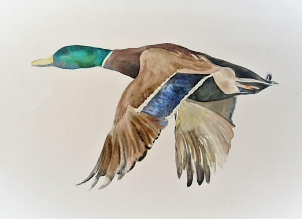 Watercolor Duck in flight