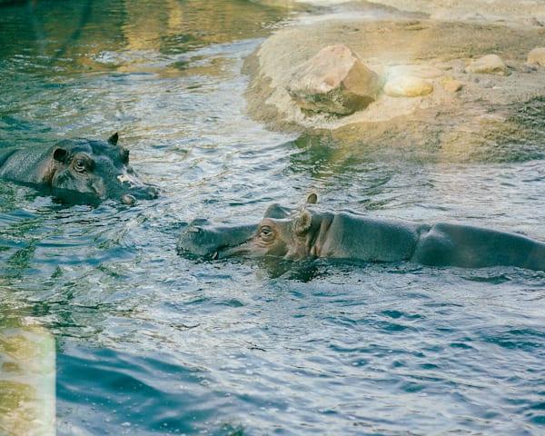 hippos-swimming-in-the-sun