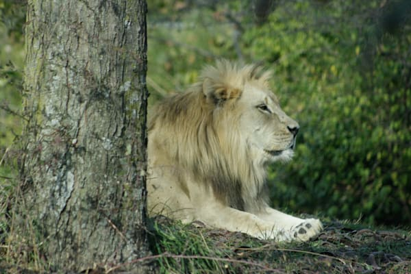 a-lion-resting-behind-a-tree