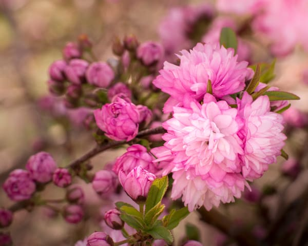 Flowering Almond Blossoms