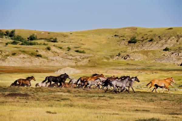 Wild Horse herd running in badlands.