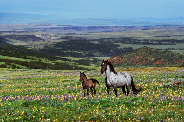 Wild Horse mare with young colt.  Western U.S., summer. (Equus caballus)