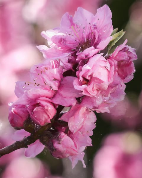 Perfect  Peach Blossoms
