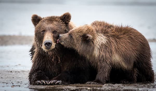 Brown Bear and Cubs Alaska