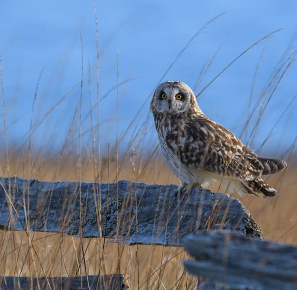 Short Eared Owl Perched On A Fence At American Camp, San Juan Island   Photo Art | Friday Harbor Atelier