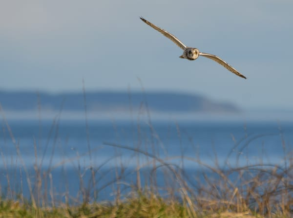 Short Eared Owl In Flight Over American Camp, San Juan Island   Photo Art | Friday Harbor Atelier