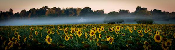 Day Break Over Sunflower Fields Photography Art | Ursula Hoppe Photography