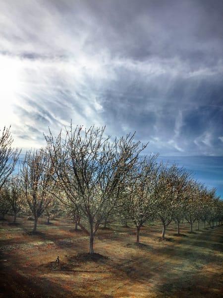 Almond blossoms in Colusa County