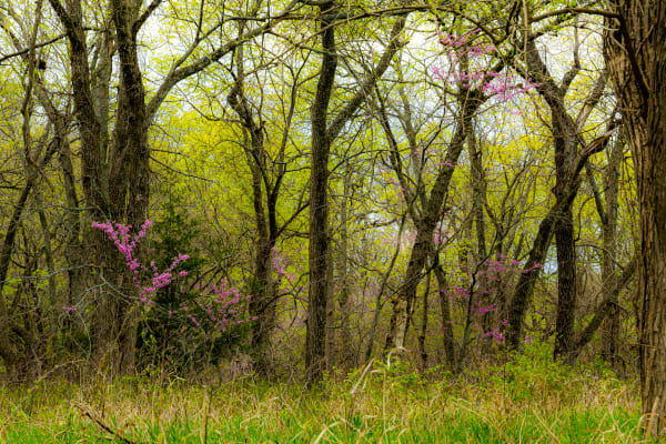 Kansas Red Bud In The Woods Photography Art | Silver Spirit Photography