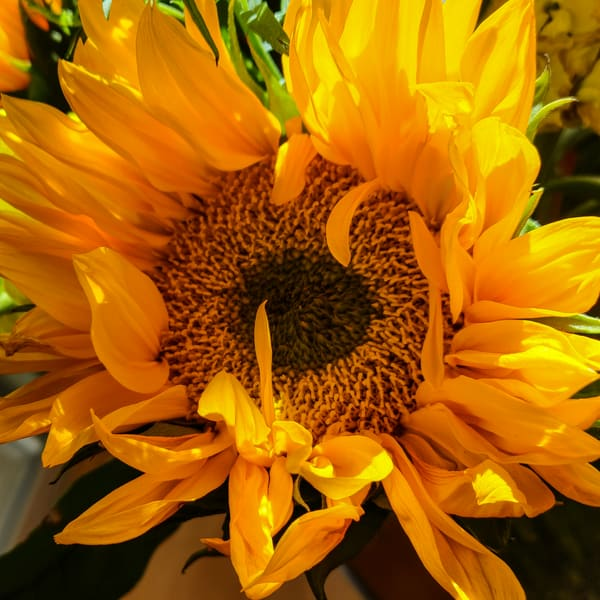 Sunflower Morning Photography Art | FocusPro Services, Inc.