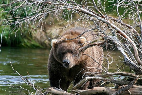 Bear Through Brush Photography Art   Michael Scott Adams Photography