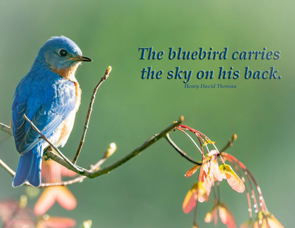 The bluebird carries the sky on his back
