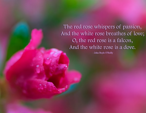 The red rose whispers of passion