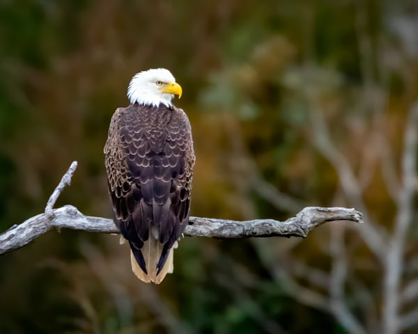 Bald Eagle on a Limb