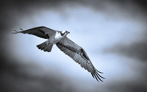 Osprey in Flight B&W Tinted