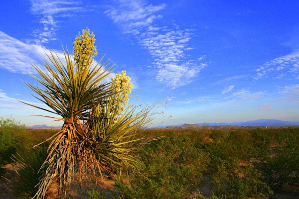 Blooming Century Plant, West Texas Photography Art | Lauramarlandphoto.com