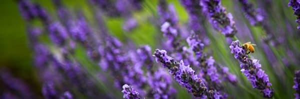 Lavender Fields  Photography Art   Ursula Hoppe Photography