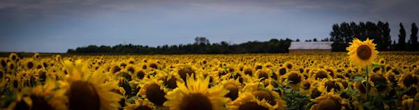 Sunflowers Photography Art | Ursula Hoppe Photography