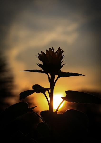 Sunflower New Bloom Photography Art   Ursula Hoppe Photography