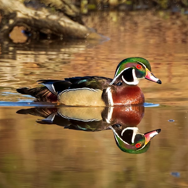 Male Wood Duck and Its Reflection