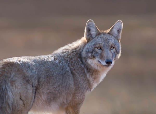 Coyote Art   Sarah E. Devlin Photography