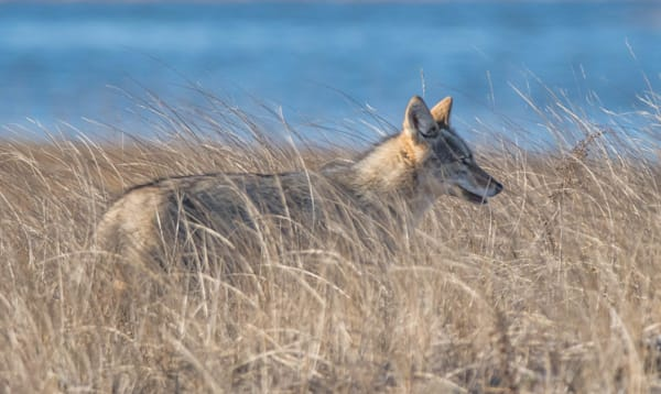 Coyote In The Dunes Copy Art   Sarah E. Devlin Photography