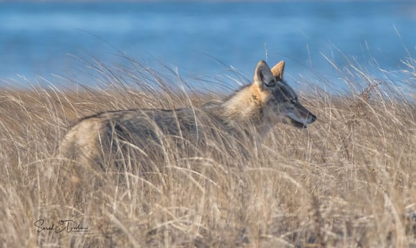 Coyote In The Dunes Art   Sarah E. Devlin Photography