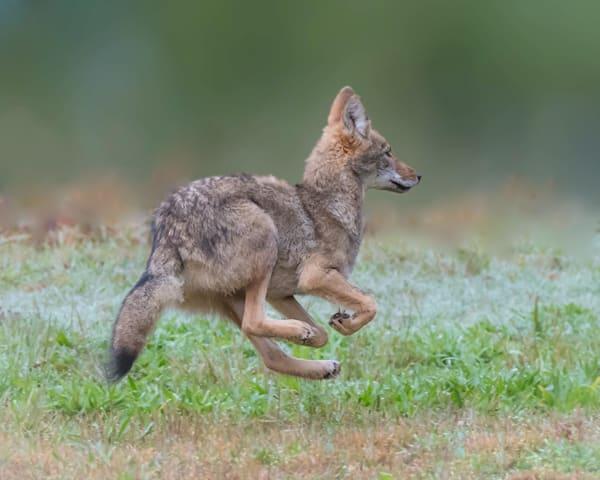 Young Coyote  Art   Sarah E. Devlin Photography