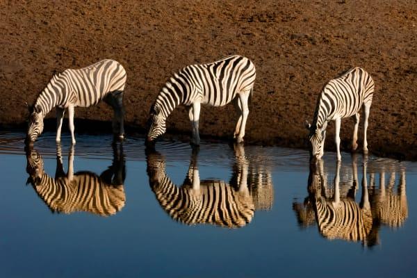 Zebra Mirror Photography Art   nancyney