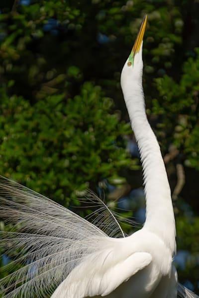 Great Egret Displaying Photography Art | Cuda Nature Art