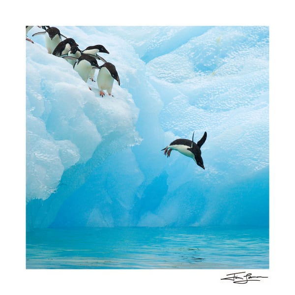 Taking The Plunge Adelie Penguin Photography Art | Tim Laman