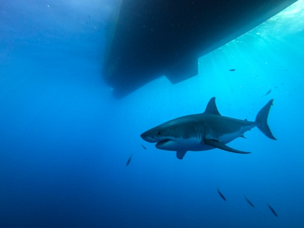 Shark 3 Of 25 Photography Art | The Colors of Chatham