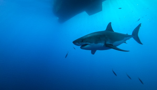 Shark 3 Of 25 V2 Photography Art | The Colors of Chatham