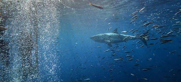 Shark 5 Of 25 V2 Photography Art | The Colors of Chatham