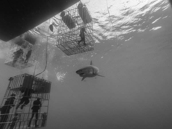 Shark B/W 1 Of 25 Photography Art | The Colors of Chatham