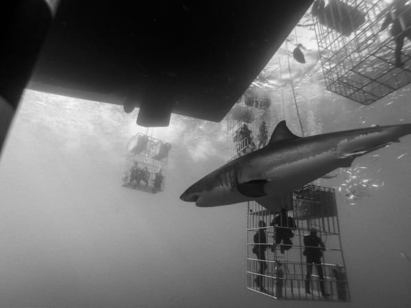 Shark B/W 2 Of 25 Photography Art | The Colors of Chatham