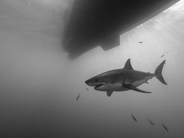 Shark B/W 3 Of 25 Photography Art | The Colors of Chatham