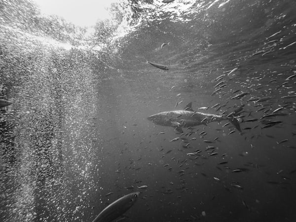 Shark B/W 5 Of 25 Photography Art | The Colors of Chatham