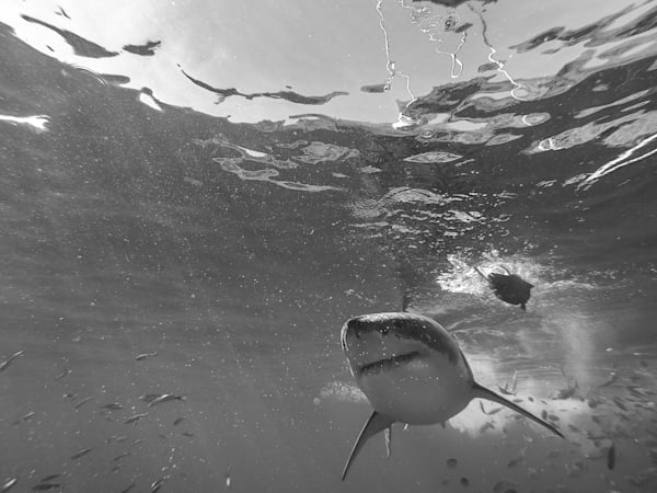 Shark B/W 4 Of 25 Photography Art | The Colors of Chatham