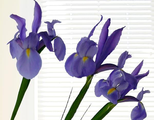 Iris at Window
