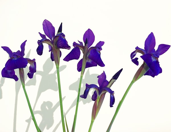 Iris Dance