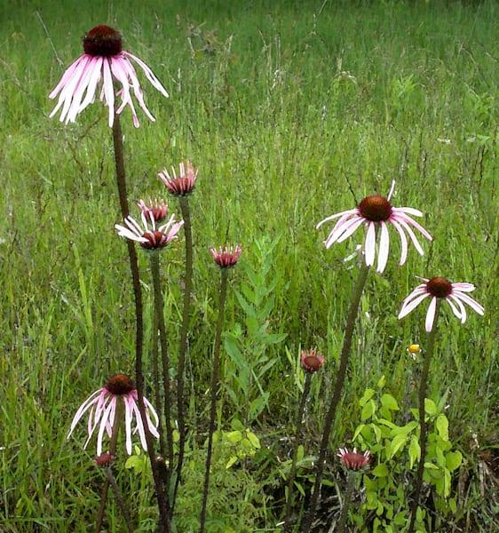 Pale Purple Cornflowers