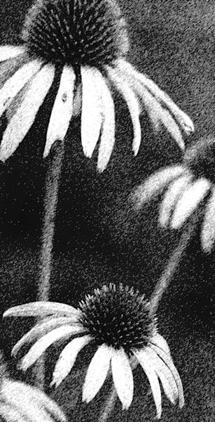 Prickly Coneflowers