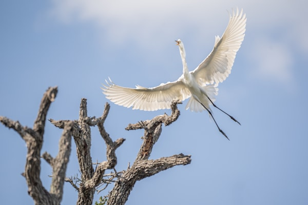A Beautiful Great Egret Flying Over The Tree Tops Photography Art | Cuda Nature Art