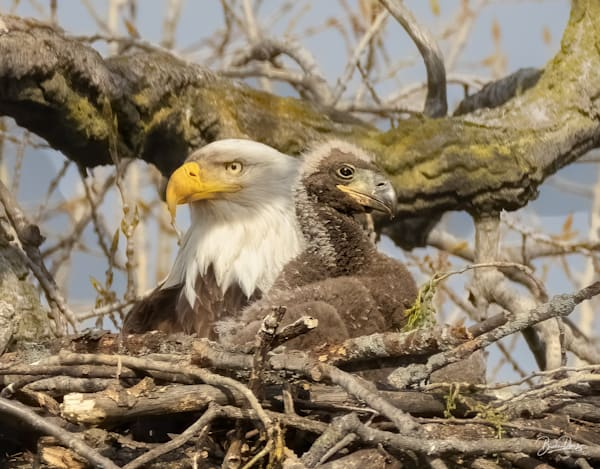 Bald Eagles on the lookout