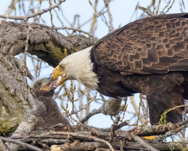 Bald Eagle Feeding Time