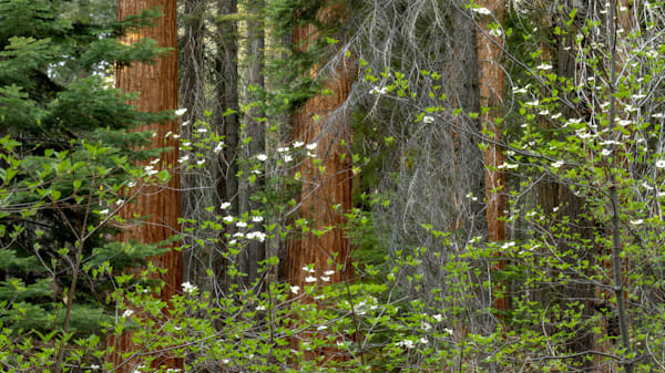 Dogwoods and sequoia